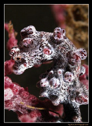 Hippocampus Bargarbanti, Pygmy Seahorse (Lembeh Straits)